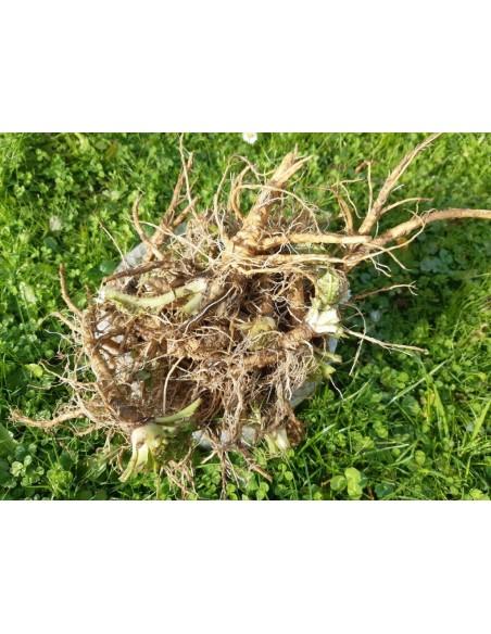 Štětka soukenická kořen
